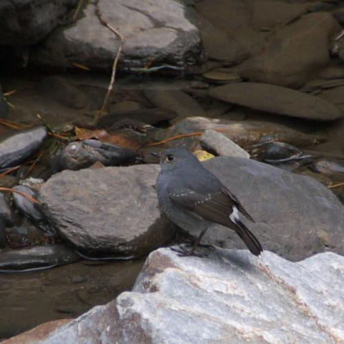 鉛色水鶇母鳥