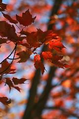 From Below (Read2me) Tags: autumn red tree leaves leaf dof bokeh x2 bigmomma gamewinner challengeyouwinner 3waychallengewinner flickrchallengewinner 15challengeswinner thechallengegame challengegamewinner friendlychallenges thumbsupwinner ultrahero thechallengefactory yourock1stplace agcgwinner anythinggoeschallengewinner gamex2winner herowinner superherochallengewinner ultraherowinner storybookchallengegroupotr pregamewinner challengeclubwinner