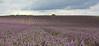 Lavendar fields 3 (samspics1234) Tags: blue sky tractor flower green beautiful field pretty purple harvest grow rows fields lavendar scented