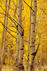 aspens on guardsman's pass road (houstonryan) Tags: road autumn fall print photography golden utah october photographer ryan pass houston photograph aspens quaking quakin guardsmans quakey utahn houstonryan