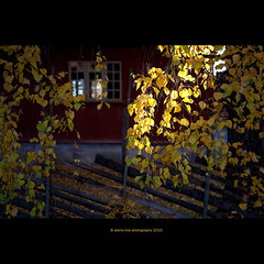 back to Norway (stella-mia) Tags: red yellow norway dof redhouse explore birch hamar betula hedmark bjrk whitebirch 2470mm domkirkeodden yellowleafs explored hedmarksmuseet canon5dmkii annakrmcke
