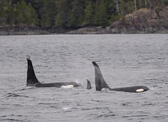 Orca - Johnston Strait - Vancouver Island