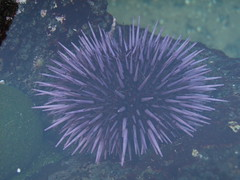 Urchin (dandlymambly) Tags: ocean autumn fall beach oregon coast october underwater purple hiking tidepools tidal 2010