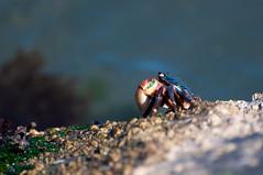 Crab in Sausalito (holidayslush) Tags: ocean california nature nikon crab sausalito d90 aycj2010