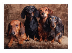 The Wild Bunch.... (Buikschuivers) Tags: alex goofy sam harley dachshunds teckels thewildbunch buikschuivers
