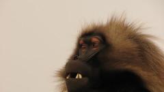 Threat Glare (jtkerb) Tags: monkey ethiopia gelada guassa threatglare