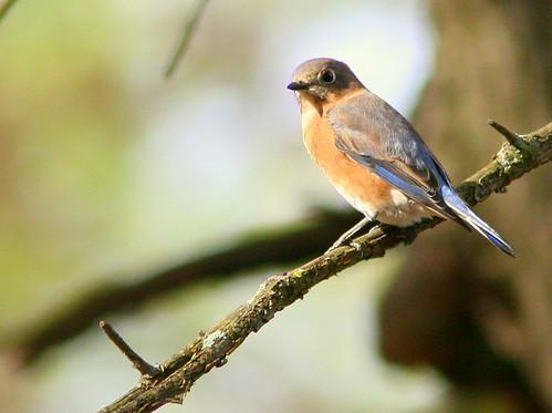 Eastern Bluebird 2-20101024