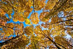 to the sky (stepex) Tags: autumn trees sky yellow forest wide lviv ukraine україна дерева львів ліс осінь листя жовто