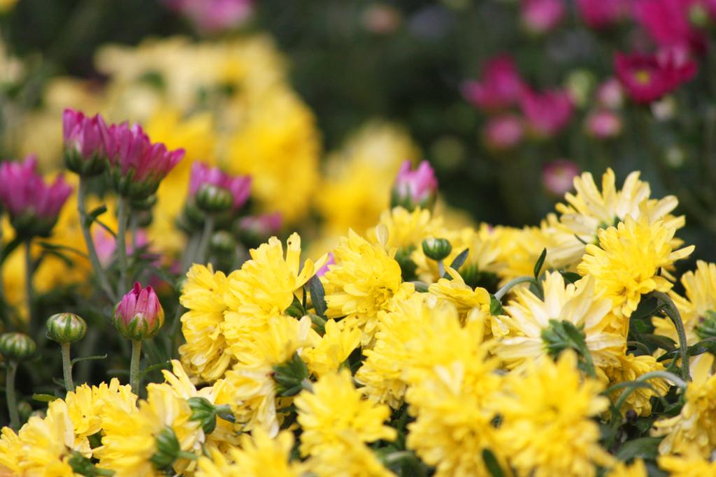 Yanaka Chrysanthemum Festival (11)