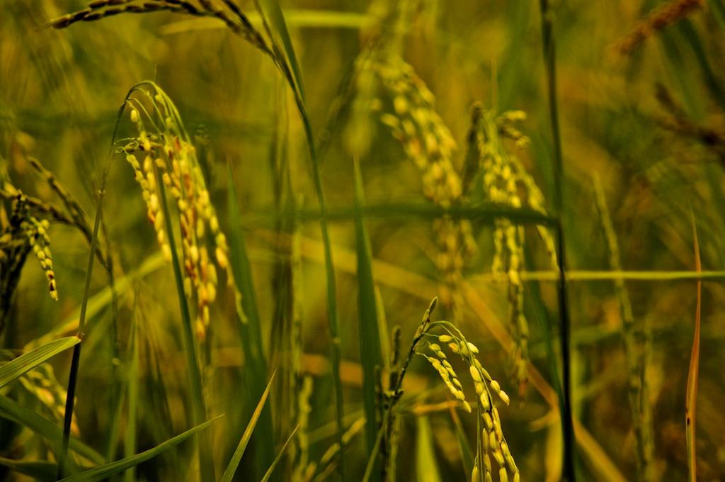Jasmine Rice field