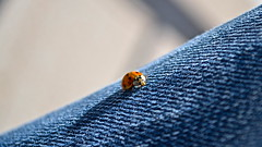 Ladybug (Giorgio Pavan Photography) Tags: blue nikon jeans ladybug nikonflickrward d3100