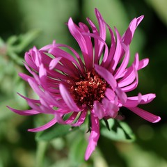 In the shelter of my petals... Aster not fully opened protects the center... October, 2010 (toryporter (back... never catching up!)) Tags: autumn sunlight black flower macro green nature yellow garden flora colorful blossom bokeh magenta maryland aster 2010 naturesfinest coth supershot mywinners nikond90 goldstaraward 105mmf28vrlens coth5 toryporter damnblog cothblog