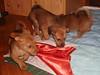 Hunde - 52 (Manfred Lentz) Tags: pets dogs puppy pups puppies hunde littledogs welpen hündchen babydogs whelps