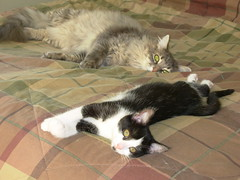 A lazy afternoon (Cats 99) Tags: blackandwhite rescue heidi tabby petra orphan feral