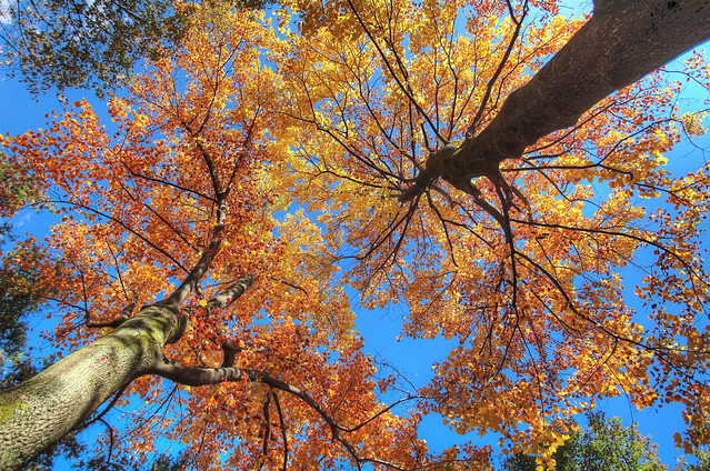 Maple trees HDR