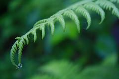 Iguau Falls (Bruno Ideriha) Tags: brazil plant verde green nature water paran rain gua canon eos waterfall leaf nationalpark close natureza chuva drop falls cataratas gota folha foz iguau rebelxs 1000d