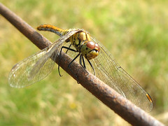 Dragonfly Vagrant Darter (Female) - Sympetrum vulgatum (Batikart) Tags: travel light summer vacation brown sun holiday black detail macro green eye texture nature animal yellow closeup fauna canon fence germany hair insect geotagged deutschland nationalpark wire bravo europa europe dragonfly bokeh sommer wildlife urlaub leg natur wing meadow wiese august gelb grn braun makro marking libelle insekt tier 2010 mecklenburgvorpommern mritz libellulidae anisoptera naturesfinest waren mecklenburgwesternpomerania canonpowershota610 sympetrumvulgatum 100faves 50faves moorsee 200faves fluginsekt vagrantdarter gemeineheidelibelle viewonblack erythrommaviridulum mritznationalpark colorphotoaward segellibelle batikart sympetrinae grosslibelle