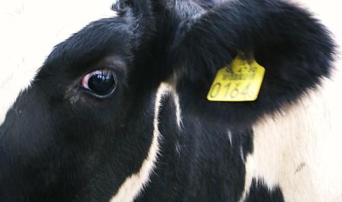 Boe, ik ben een koe