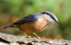 Nuthatch (Andrew H Wildlife Images) Tags: bird nature wildlife coventry nuthatch warwickshire coombeabbey canon7d ajh2008