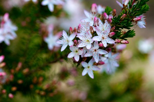 Calytrix tetragona (Myrtaceae); Common fringe myrtle