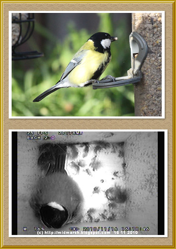 Great Tit - Day and Night