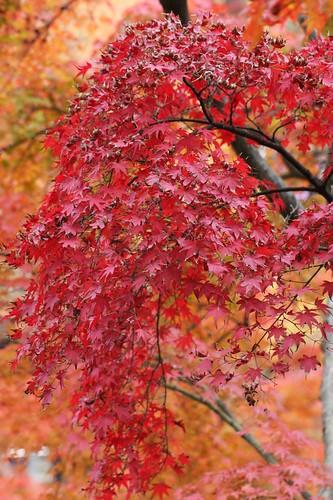 錦秋 Maples