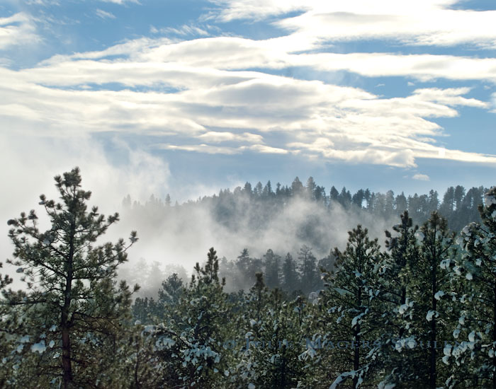A snow squall blows through a pine forest under a blue winter sky in northern Colorado.
