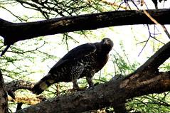 Lake Manyara: Crowned eagle (mothclark62) Tags: bird tanzania eagle wildlife raptor birdofprey manyara lakemanyara eastafrica eastafrican tanzanian crownedeagle lakemanyaranationalpark