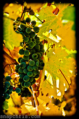 Autumn Wine grapes (tibchris) Tags: california blue leaves nikon wine vineyards grapes napa wineries yelloe feaf d700 tibchris arcticpuppy snapchris