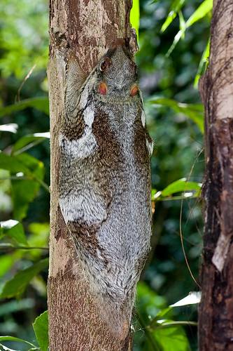 colugo flying lemur IMG_5578 copy