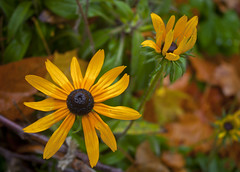 Pretty Flowers (A Great Capture) Tags: autumn orange brown toronto ontario canada green fall blackeyedsusan on ald ash2276 ashleyduffus ald ashleysphotographycom ashleysphotoscom ashleylduffus wwwashleysphotoscom