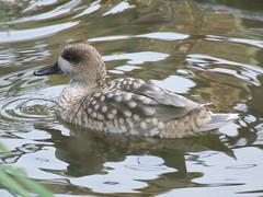Tilgate Park - Duck
