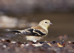 Winter Finch (Dah Professor) Tags: kh0831 capemay bird nj