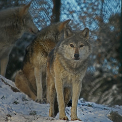 Winter Wolves (Gary's Photos. 2.55 Million views) Tags: park ireland dublin nature phoenix animal canon photography eos grey zoo photo wolf foto wildlife gray canine lobo loup lupus graywolf wolves phoenixpark greywolf canis dublinzoo canislupus 100400l canidae garywilson 5dmkii