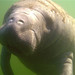 Baby Manatee in Florida by Barbara Brown shot with IC600