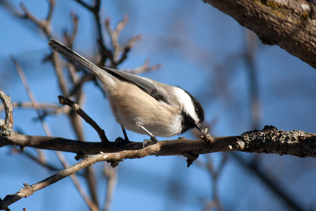 Black-capped-chickadee-9.jpg