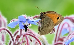 Butterfly on blue. (pstone646) Tags: butterfly insect nature fauna flower flora wildlife elmley kent animal closeup bokeh