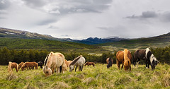 Horses and mountains (tods_photo) Tags: ifttt 500px field landscape mountains nature summer grass animal horse countryside rural outdoors herd livestock mammal