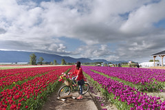 tulips festival chilliwack 2017 (yuanxizhou) Tags: amazing beautiful britishcolumbia vancouver nature cloud mountain land sky landscape tulips field flowerphotography flower