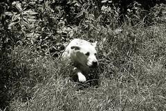 Iva (glaserei) Tags: iva hunde hund haustier labrador labi goldie retriever schwarzweis bw
