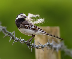 Male Pied Wagtail  ( Motacilla alba ) - Nesting material !! (Clive Brown 72) Tags: bird wagatail male cock wool sheep farmland uplands barbedwire piedwagtail nestingmaterial