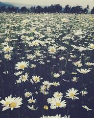 Fülle (Carol_jo) Tags: natur flower blumen wiese field
