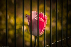 Barred beauty (Anthony P26) Tags: category eskisehir flickrpost flora places turkey yunusemrecampus tulip flower petal plant pink bar iron fence cage prison canon1585mm canon70d canon vignette dof narrowdepthoffield depthoffield closeup closefocus bokeh morning sunlight outdoor