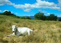 ...preoccupazione per il futuro... (rebranca46) Tags: friends italy clouds nuvole campagna harmony 1001nights mucca marche 2010 vitello naturesfinest mywinners rebranca allegrisinasceosidiventa montegrimanopu