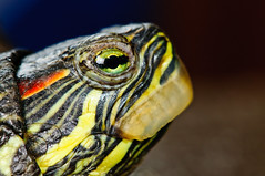 Turtle (Sergiu Bacioiu) Tags: life wild portrait pet color green nature water animal studio eyes slow head turtle reptile wildlife small tortoise adorable shell amphibian exotic tropical concept aquatic crawl vertebrate carapace herbivorous