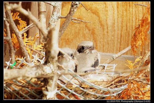 Eastern Loggerhead Shrike (Lanius ludovicianus migrans) nestlings
