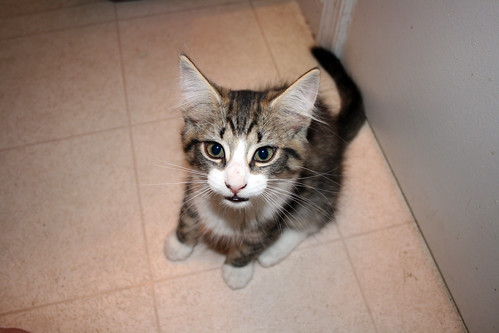 Intrepid, a long-haired tabby and white kitten with a cute white nose and gorgeous almond-shaped eyes, looks very thinky.