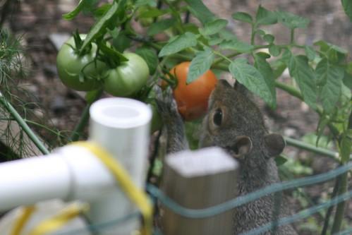 squirrel 026