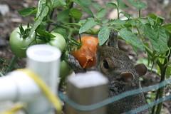 squirrel 030