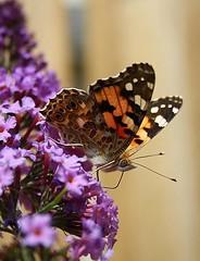 der erste Schmetterling (Sommerwind_1974) Tags: butterfly fly sommer bunt farben schmetterling flieder flgel sommerflieder fhler